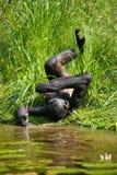 Bonobo, der auf dem Gras liegt Demokratische Republik Kongo Lola Ya-BONOBO Nationalpark Lizenzfreies Stockfoto
