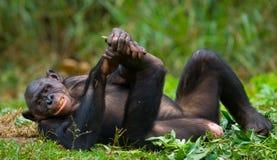 Bonobo, der auf dem Gras liegt Demokratische Republik Kongo Lola Ya-BONOBO Nationalpark Lizenzfreie Stockfotos