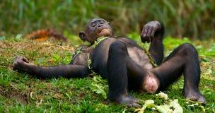 Bonobo, der auf dem Gras liegt Demokratische Republik Kongo Lola Ya-BONOBO Nationalpark Stockbild