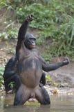 Bonobo, der auf ihren Beinen im Wasser mit einem Jungen auf einer hinteren Stellung und einer Hand oben steht Der Bonobo (Pan-pan Lizenzfreie Stockfotografie