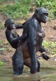 Bonobo, der auf ihren Beinen im Wasser mit einem Jungen auf einer Rückseite steht Der Bonobo (Pan-paniscus) Stockbild