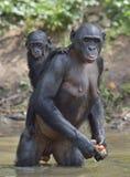 Bonobo, der auf ihren Beinen im Wasser mit einem Jungen auf einer Rückseite steht Der Bonobo (Pan-paniscus) Lizenzfreies Stockfoto