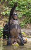 Bonobo, der auf ihren Beinen im Wasser mit einem Jungen auf einer Rückseite steht Grüner natürlicher Hintergrund Stockfotos