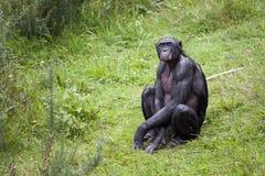 Bonobo, der im Gras sitzt Lizenzfreie Stockfotos