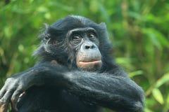 Bonobo detail Royalty Free Stock Photo