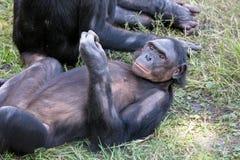 Bonobo die in gras rust Stock Fotografie