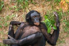 Bonobo die op het gras liggen Democratische Republiek de Kongo Het Nationale Park van Lola Ya BONOBO Stock Foto