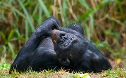 Bonobo die op het gras liggen Democratische Republiek de Kongo Het Nationale Park van Lola Ya BONOBO Stock Foto's