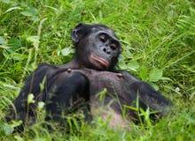 Bonobo die op het gras liggen Democratische Republiek de Kongo Het Nationale Park van Lola Ya BONOBO Stock Afbeelding