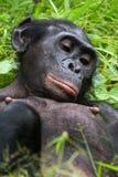 Bonobo die op het gras liggen Democratische Republiek de Kongo Het Nationale Park van Lola Ya BONOBO Royalty-vrije Stock Afbeeldingen