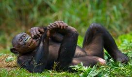 Bonobo die op het gras liggen Democratische Republiek de Kongo Het Nationale Park van Lola Ya BONOBO Royalty-vrije Stock Foto