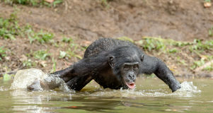 Bonobo drink water in the pond Stock Photo
