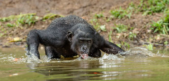 Bonobo drink water in the pond Royalty Free Stock Images