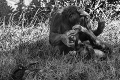 Bonobo family portrait in black and white stock photo