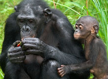 Bonobo femelle avec un bébé Le Republic Of The Congo Democratic Parc national de BONOBO de Lola Ya Images stock