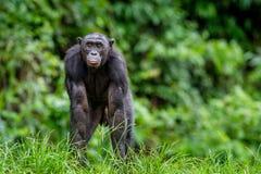 Bonobo im natürlichen Lebensraum auf grünem natürlichem Hintergrund Stockfotos