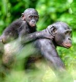 Bonobo im natürlichen Lebensraum Schließen Sie herauf Porträt von Bonobo CUB auf der Mutter ` s Rückseite Lizenzfreies Stockfoto