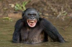 Bonobo im Wasser Grüner natürlicher Hintergrund Stockbilder