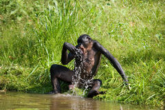 Bonobo jouant avec de l'eau Le Republic Of The Congo Democratic Parc national de BONOBO de Lola Ya Photographie stock libre de droits