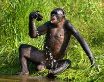Bonobo jouant avec de l'eau Le Republic Of The Congo Democratic Parc national de BONOBO de Lola Ya Image stock