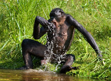 Bonobo jouant avec de l'eau Le Republic Of The Congo Democratic Parc national de BONOBO de Lola Ya Photo stock