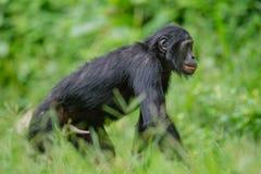 Bonobo męski spacer na Zielony naturalnym Zdjęcie Royalty Free