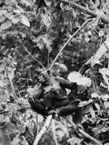 Bonobo mit einem Jungen Lizenzfreie Stockbilder