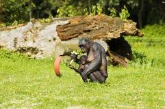 Bonobo monkey mother and child Royalty Free Stock Image