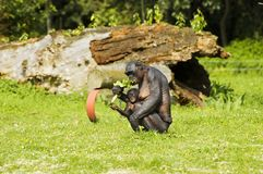 Bonobo monkey mother and child. Bonobo monkey sitting and eating with baby chimpansee Royalty Free Stock Image