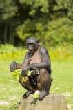 Bonobo monkey mother and child. Bonobo monkey sitting and eating with baby chimpansee Royalty Free Stock Photography