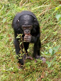 Bonobo monkey Stock Photography