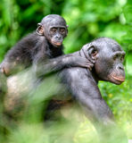 Bonobo in natural habitat. Close up Portrait of Bonobo Cub on the mother`s back Royalty Free Stock Photo