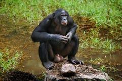 Bonobo is near the lake. Democratic Republic of Congo. Lola Ya BONOBO National Park. Stock Images