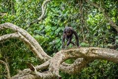 Bonobo op de tak van de boom in natuurlijke habitat royalty-vrije stock foto