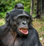 Bonobo with open mouth. Stock Photography