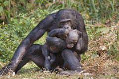 A bonobo (Pan panicus) with a baby. Stock Photos