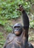 Bonobo (Pan-paniscus) übergeben oben Stockfoto