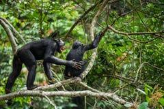 Bonobo (Pan Paniscus) auf einem Baumast Lizenzfreie Stockfotografie