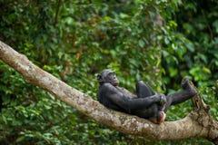 Bonobo (Pan Paniscus) auf einem Baumast Stockfoto