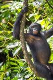Bonobo (Pan Paniscus) auf einem Baumast Grüner natürlicher Dschungelhintergrund Lizenzfreie Stockfotos