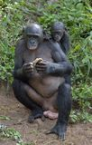 The Bonobo ( Pan paniscus) Eating female Bonobo with a cub on a back. Stock Photos