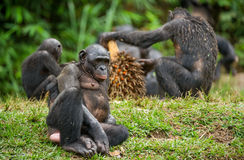 The Bonobo ( Pan paniscus) family, called the pygmy chimpanzee. Stock Images