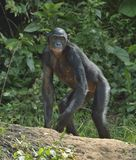 The bonobo ( Pan paniscus)  on the green natural background. Royalty Free Stock Images