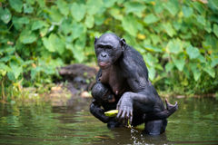 Bonobo (Pan-paniscus) mit Jungem im Wasser Stockbilder
