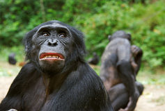 Bonobo ( Pan paniscus)   portrait. Stock Photos