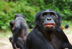 Bonobo ( Pan paniscus)   portrait. Royalty Free Stock Image