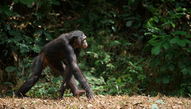 Bonobo ( Pan paniscus)   portrait. Stock Image