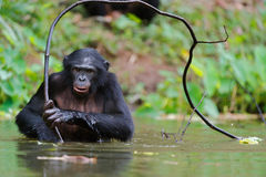 Bonobo ( Pan paniscus)   portrait. Royalty Free Stock Photos