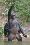 Bonobo ( Pan paniscus) standing on her legs with a cub on a back and hand up Royalty Free Stock Photos