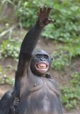 Bonobo ( Pan paniscus) standing on her legs with a cub on a back and hand up Royalty Free Stock Image